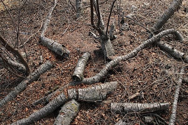 Ещё одна интересная вещь. Не знаю, какое это дерево (но уточню), но вот кора у этого дерева - очень устойчивая. Внитри почти ничего не осталось - одна труха, а наружная оболочка еще держит неплохую форму. Ничего это вам не напоминает? :)