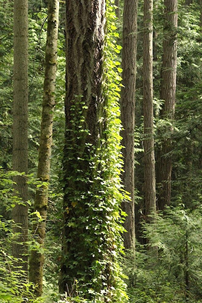 """Деревья, поросшие вьюновыми растениями. По ассоциации в лесными ВАННАМИ, мне пришло в голову, что деревья сами не прочь """"принять зеленый ДУШ"""" :)"""
