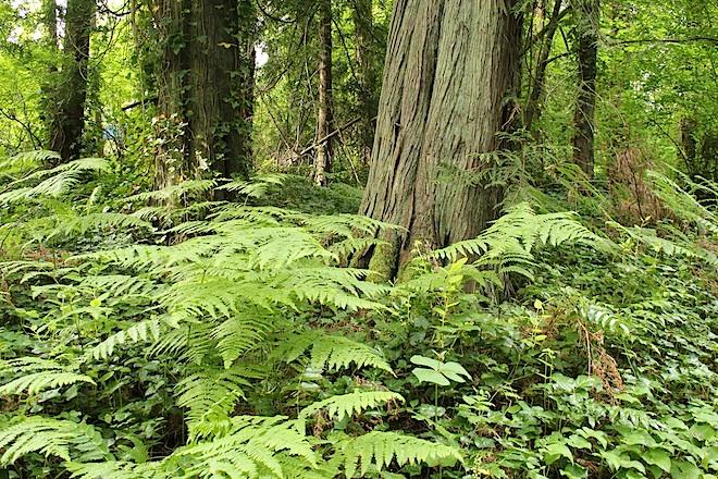 """Папоротник. Придает лесу вид """"Парка Юрского Периода""""."""