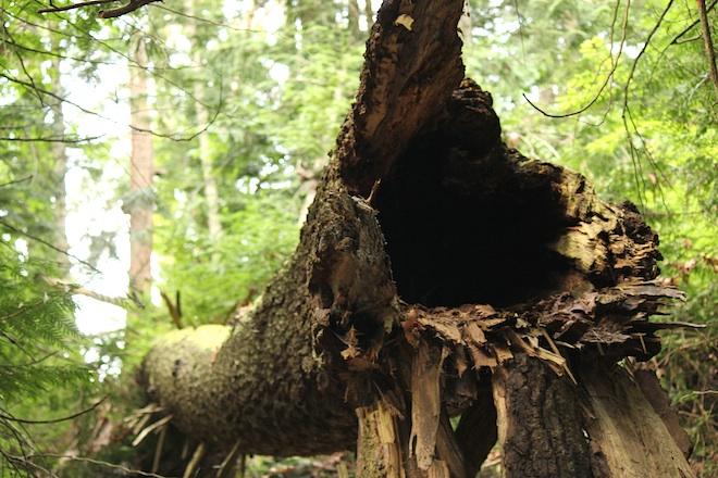 """Не с """"помощью"""" ли дятлов упало это дерево? :)"""