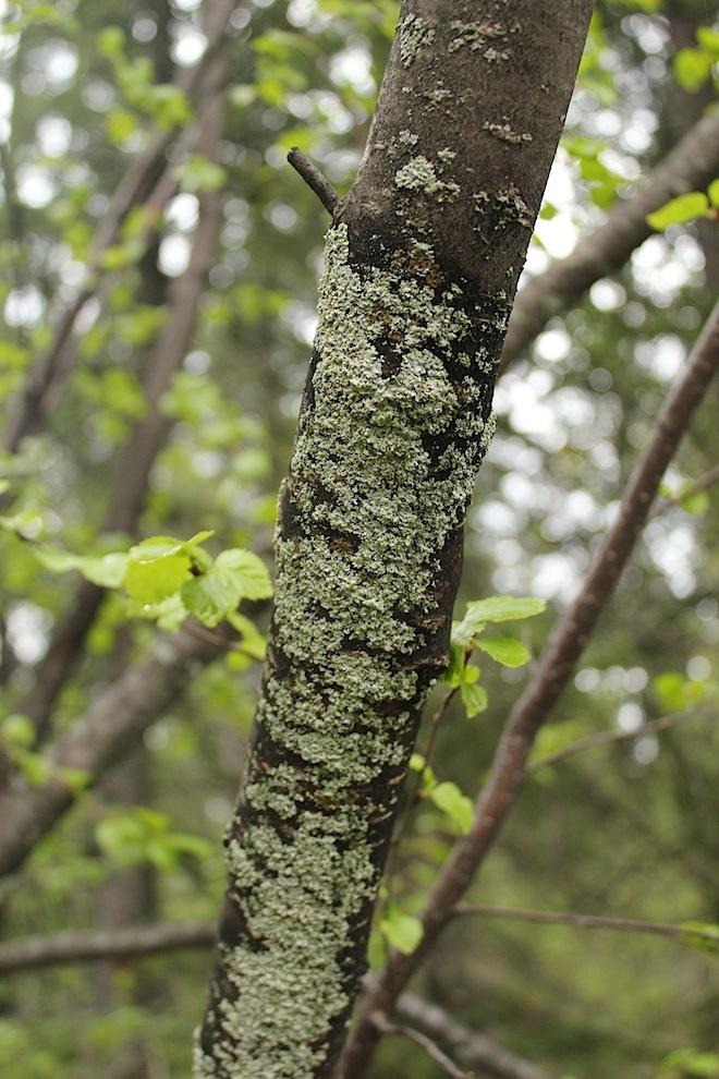 """Не очень-то бросающиеся в глаза типы лишайников живущих на стволах деревьев, прямо-таки """"явились ниоткуда"""", придав деревьям какой-то новый вид."""