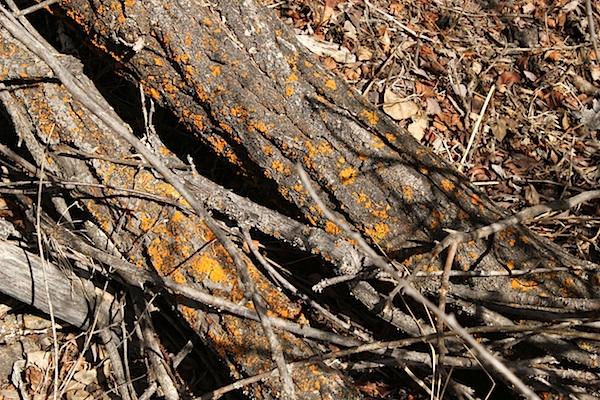 Яркий лишайник на корнях дерева. Тоже, наверное, весне радуется.