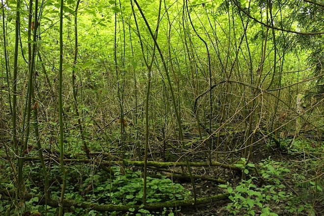 """""""Очень зелено и влажно"""" - характеристика подлеска."""