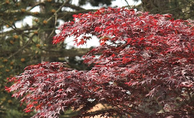 Не подумайте, что в Виктории уже настала осень - такая вот порода клёна с молодыми красными листьями.